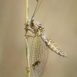 Deleproctophylla dusmeti thumbnail