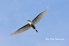 IMG_6989 (nitinpatel2) Tags: bird nature nitinpatel