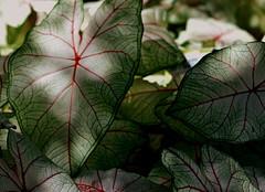 Veins of Light (npbiffar) Tags: outdoor garden leaf plant green vein npbiffar macro 150mm sigma d7100 nikon ngc