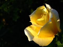 Tenderness. (ALEKSANDR RYBAK) Tags: роза лепестки цветы роса капельки утро солнечный свет луч нежность макро крупный план тень красота rose flower petals flowers dew droplets morning solar shine ray tenderness macro closeup shadow beauty