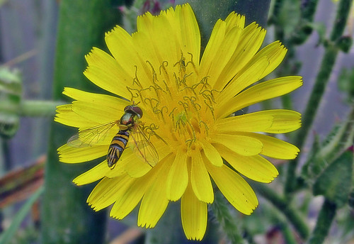Allograpta on bristly oxtongue