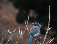 California Scrub-jay (phoca2004) Tags: aphelocomacalifornica bird californiastatenaturalreserve californiastateparks carmelbythesea d90 montereycounty nikon pointlobosstatenatrualreserve snr california unitedstates us californiascrubjay