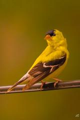 A pleasure visitor (jgaosb) Tags: american goldfinch backyard