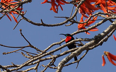 ScarletSunBird2 (Wolfram Burner) Tags: kruger sa southafrica wildlife conservation natural history naturalhistory wolfram burner africa