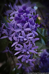 Wisteria (robtm2010) Tags: florida usa eastcoast wintergarden flower wisteria canon t3i canont3i plant