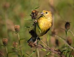 Female American Goldfinch (claudiaulrikegoodall) Tags: purple