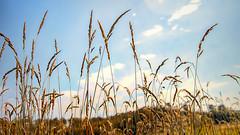 Where the Wind Blew Free (Vanessa wuz Here) Tags: 105mm landscape blueskies autumn alberta elkislandnationalpark grass clouds 7dwf horizon everyimagetellsastory prairies angle copyrightvanessabartosek