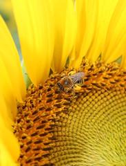 Honey Bee on a sunflower (pegase1972) Tags: honey bee fleur flora flower nature summer sunflower