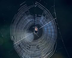 le piège (rondoudou87) Tags: spider araignée toile web light lumière pentax k1 nature natur sauvage shadow bokeh trap piège bright naturaleza rondoudou87