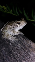 What's up? (BSendelbach) Tags: treefrog northerngraytreefrog frog amphibians