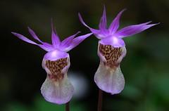 20180525-027P (m-klueber.de) Tags: 20180525027f 20180525 2018 mkbildkatalog skandinavischeflora flora nordeuropa nordisch pflanzenwelt pflanze europäische skandinavische skandinavien scandinavia schweden sweden sverige orchidee orchidaceae calbulb calypso bulbosa norne fairy slipper jämtland östersund