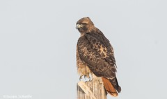 A striking redtail (Photosuze) Tags: hawks redtailedhawks raptors predators buteos birds aves avians animals nature wildlife buteojamaicensis