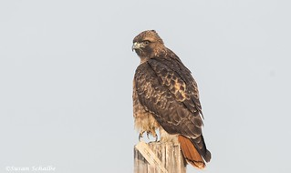 A striking redtail