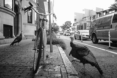 Street Turkeys (RichardJames1990) Tags: boston cambridge harvart mit us roadtrip tourism tourist holiday travel mass mas ms massachusetts state reintroduced nature wildlife conservation environment black white pairs two symmetry rule thirds bird feathers red neck thanksgiving labour day bike bicycle cycle road city cars roadway sidewalk pavement asphalt grey mix contrast wide angle nikkor nikon 20mm 20 lightroom edit