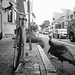 Street Turkeys