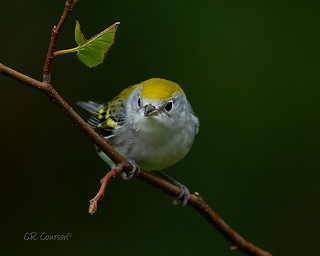 Chestnut-sided Warbler (Fall)
