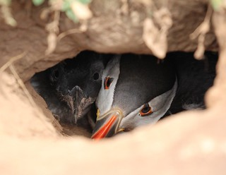 puffin and puffling in burrow
