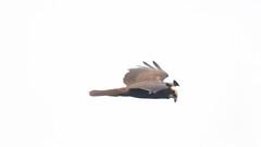 DSC_8430J1 (SuffolkTyke) Tags: 2018 autumn birds bulgaria heatherlea marshharrier