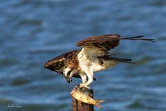 Osprey (Asa-Photography) Tags: osprey nikon nature nikkor naturephotgraphy nikond850 wildlife wildlifephotography wild d850 200500mm