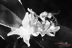 Evening With the Bumbles II (1300 Photography) Tags: nikon nikon1j5 affinity outdoors nature lemontree bug bugs bumblebee insect insects blackwhite