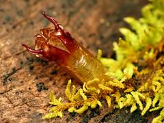 Fly Pupa Exuviae (treegrow) Tags: newzealand moana lakebrunner nature lifeonearth raynoxdcr250 arthropoda insect diptera fly pupa
