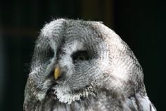 (ow54) Tags: eule kauz owl falknerei bird vogel