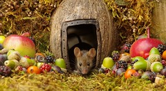 wild house mouse in log pile  with fruits and berry's (6) (Simon Dell Photography) Tags: wild george log pile house mouse nature garden animal rodent cute fun funny summer fruits berries berrys display lots bounty moss covered simon dell photography sheffield 2018 aug cool awesome countryfile ears close up high detail cards design