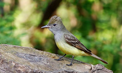 Great crested flycatcher male (IshranI) Tags: great crested flycatcher male ontario canada