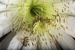 Honey Bee Gathering Nectar From A Cactus Flower (Bill Gracey 20 Million Views) Tags: cactus cactusflower bee honeybee fleur flower flor lakeside lastoliteezbox softbox yongnuo yongnuorf603n darkbackground detail clarity nightbloomingcactus cactusgarden pollinator