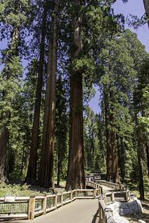 Mariposa Grove Trail, Yosemite N. P.