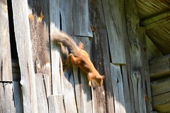 Saaremaa salasopis (anuwintschalek) Tags: nikond7000 d7k 18140vr eesti estland estonia suvi sommer summer july 2018 saaremaa saar insel island orav eichhörncher squirrel saun sein wall wand