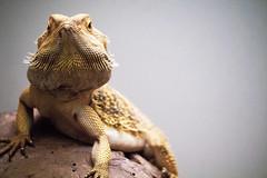 Lizard. (isabella.dalessandro) Tags: lizard nature oasi natura naturephotography reptile rettile freedom macro ambient sony