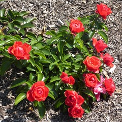 Wheaton, IL, Cantigny Park, Rose Garden, Red Roses (Mary Warren 11.3+ Million Views) Tags: wheatonil cantignypark nature flora plants green leaves foliage garden park rosegarden red blooms blossoms flowers coth5