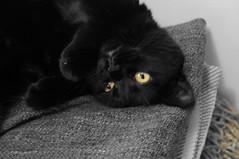 Looking Upside Down (knightbefore_99) Tags: kitty cat gato chat black noir feline furry sweet love eyes orange blanket rest stack nap look upside down cute