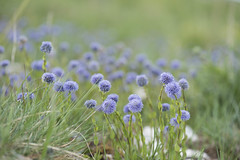 Globulaires en pagaille (Titole) Tags: globulaire many wildflowers titole nicolefaton blue