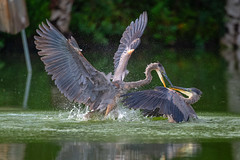 HolidayDance (jmishefske) Tags: greenfield d850 nikon water fight fighting milwaukee september pond blue great lagoon westallis bird heron park wisconsin territory county 2018