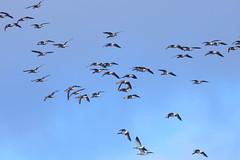_MG_0194 (Yorkshire Pics) Tags: 0909 09092018 9thseptember 9thseptember2018 castleford fairburnings rspbfairburnings geese geeseinflight