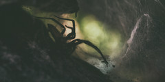 (a└3 X) Tags: natur nature alexfenzl olympus outdoor makro macro austria color macrofotografie wildlife 3x a└3x spider spinne
