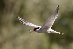 Common Tern (Alan McCluskie) Tags: commontern terns birdsinswindon birdsinflight bif birds nature wildlife canon7dmk2 sigma150600mmsp sternahirundo seaswallow coatewater