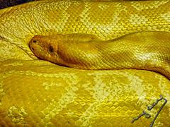 golden (ingcuevas) Tags: snake serpiente animal bio piton vida hermosa ojos escamas natura natural cute peligro dorada golden salvaje fauna reptil life danger