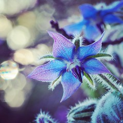 Borage flower in morning light (viki_paterson) Tags: morning earlymorning droplets bokehbliss morningbokeh morningdew blueflowers flowers blueflower bokeh flower borage morninglight dewy dew