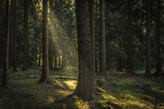 forest series #122 (Stefan A. Schmidt) Tags: warstein nordrheinwestfalen deutschland de germany forest tree trees sunlight sunbeam sunrise sunshine