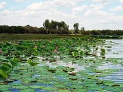 Sacred Lotus Kakadu National Park (suziehancock) Tags: waterlily lily olympus billabong northernterritory kakadu kakadunationalpark flora flower pink sacredlotus lotus sacred