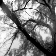 Wet Tree (Pics from the Bird Cage) Tags: yashica yashicad ilford ilfordfp4plus 120 bw mediumformat blackandwhite blackwhite ishootfilm edmonton edmontonalberta yashicamodeld 400 d iso filmtype120 tlr portrait tree rain analog