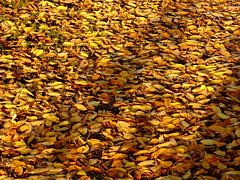 golden times (vertblu) Tags: leaves autumn fall autumnleaves yellow orange brown fallendown fallenleaves foliage autumnfoliage autumncolours autumncolouring autumnlight vertblu smileonsaturday seasonsflora