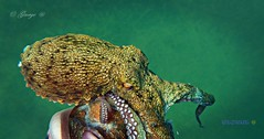 Sea is magic *Magical Secrets at Sea by George @ Wonderful colors (George @) Tags: octopus colorful underwater camouflage squid seacreatures sealife ocean sea bottom nature dive χταπόδι κατάδυση θάλασσα βυθόσ seatouch skinchanging snorkeling seasecrets awesomelifestyle wildlifephotography blueplanet savetheanimals savethenature creatures weird secrets eyetoeye george papaki eyes photography photografer georgeeyesphotography georgeeyes georgepapaki photografia φωτογραφία visitgreece greekphotographers europeanphotography naturephotography landscapephotography 0nlygreece perfectgreece naturegreece naturelover macedoniagreece makedonia macedoniatimeless macedonian macédoine mazedonien μακεδονια македонијамакедонскимакедонци