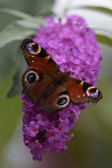 Butterfly @ Zoo de Beauval 04-09-2017 (Maxime de Boer) Tags: butterfly vlinder insect zoo parc de beauval saintaignan france animals dieren dierentuin gods creation schepping creator schepper genesis
