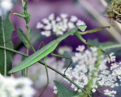 Heading to the Buffet (laurie.mccarty) Tags: prayingmantis nature bokeh macro garden plant