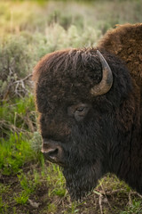 Bison in Grasslands, backlight  portrait (tvrdypavel) Tags: american animal backlight bison buffalo bull canada cattle closely closeup coat color eyes face forehead fur head horns mammal national nature northern nose one park pelage portrait powerful protected reserve sight strong symbol watching wild wildlife wool