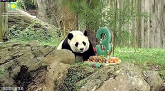 2018_08-22r (gkoo19681) Tags: beibei chubbycubby fuzzywuzzy adorableears brighteyed 3rdbirthday celebrating icecake presents squaretubby sugarcane apples nanner indecisive beingadorable posing sohandsome perfection meltinghearts precious sohappy onapedestal toocute amazing birthdaywish ccncby nationalzoo